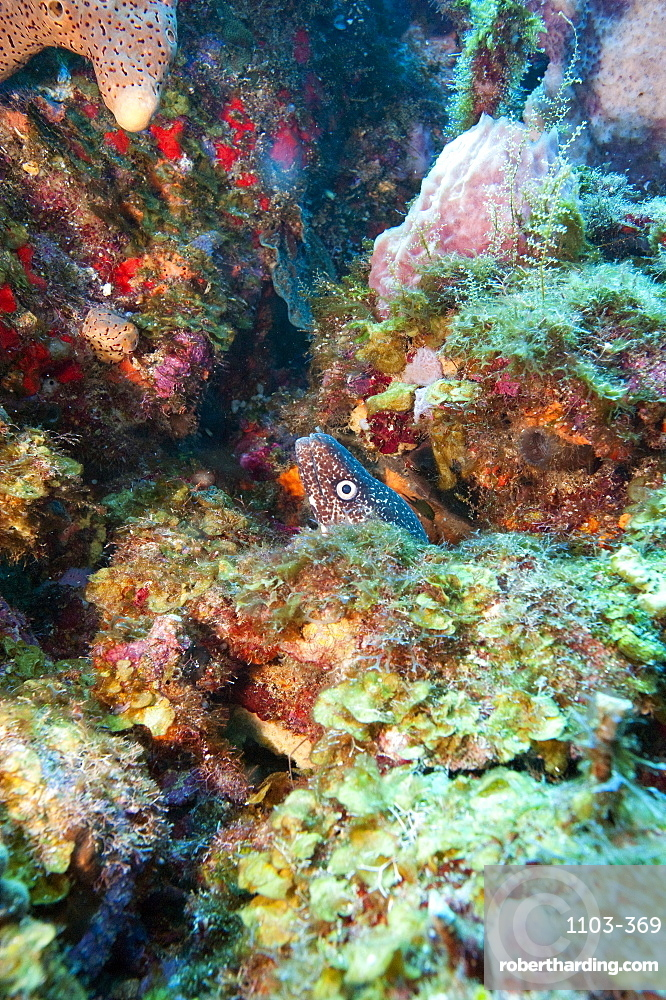 Spotted moray eel (Gymnothorax moringa) in a colourful healthy reef, Dominica, West Indies, Caribbean, Central America