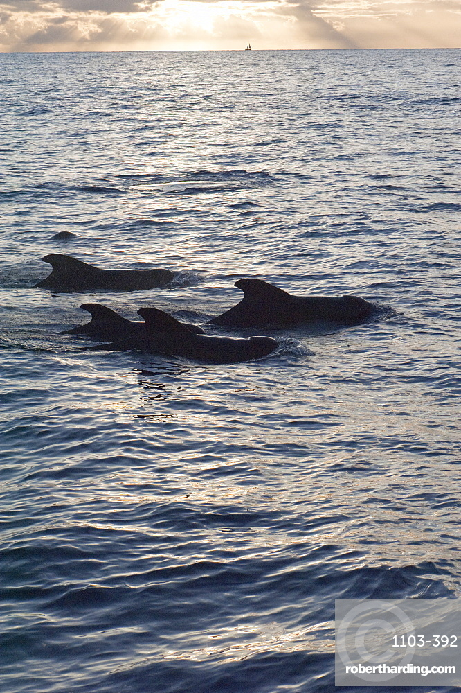 Pilot whales off the coast of Dominica, West Indies, Caribbean, Central America