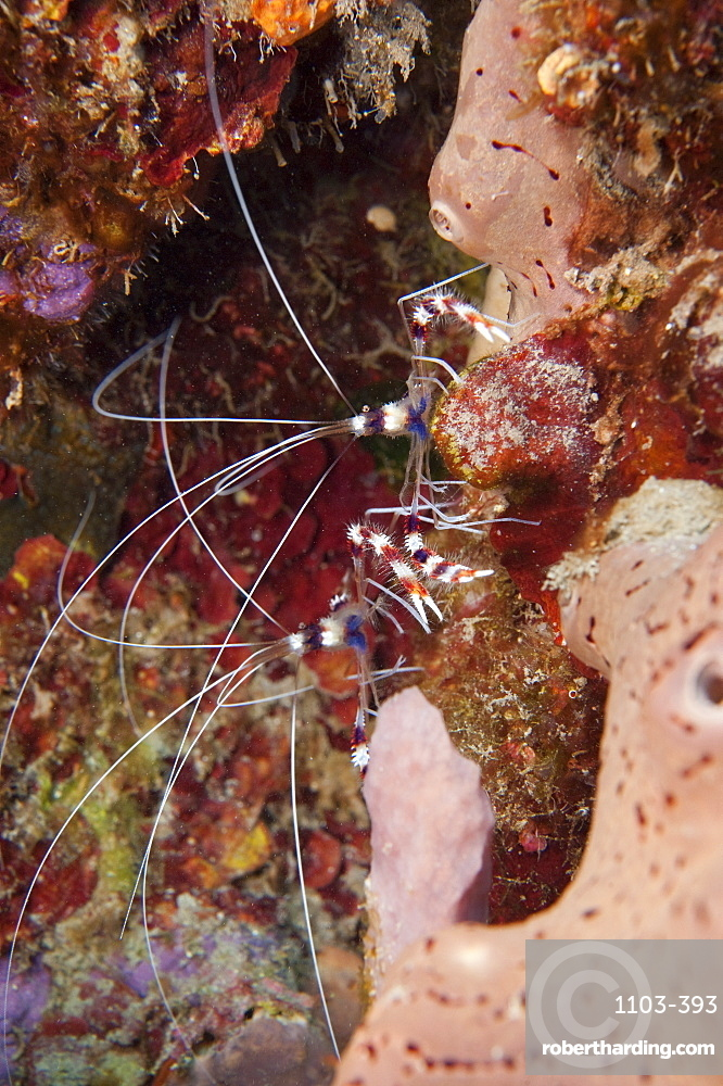 Banded coral shrimp (Stenopus hispidus), Dominica, West Indies, Caribbean, Central America