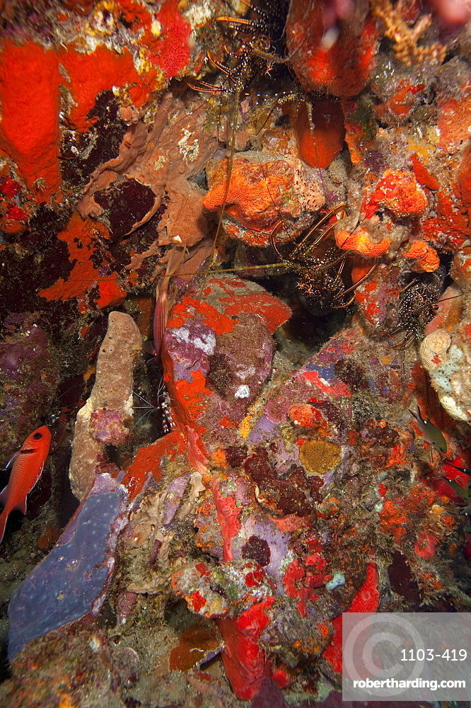 Caribbean lobster in coral wall, Dominica, West Indies, Caribbean, Central America