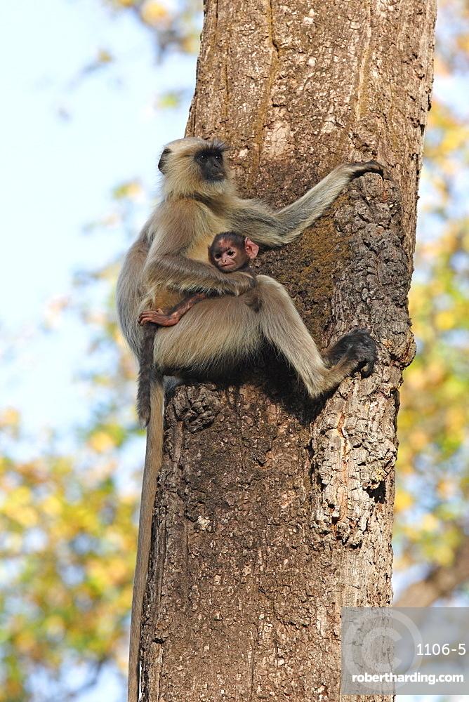 Gray langur (Hanuman langur) (Semnopithecus hector), Bandhavgarh National Park, Madhya Pradesh, India, Asia