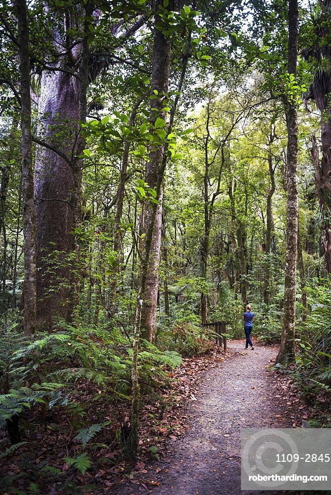 Tourist exploring Waipoua Kauri Forest, Northland Region, North Island, New Zealand, Pacific