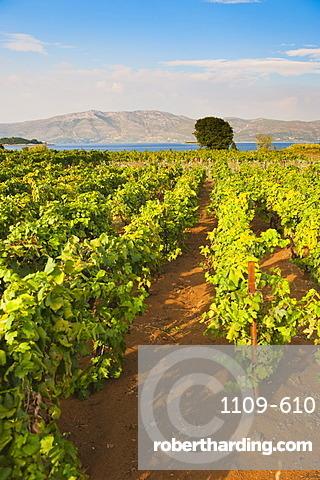 Vineyard, Lumbarda, Korcula Island, Dalmatian Coast, Adriatic, Croatia, Europe