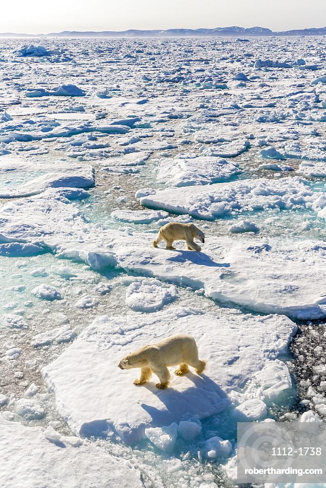 Adult polar bears (Ursus maritimus), confrontation on ice floe, Cumberland Peninsula, Baffin Island, Nunavut, Canada, North America