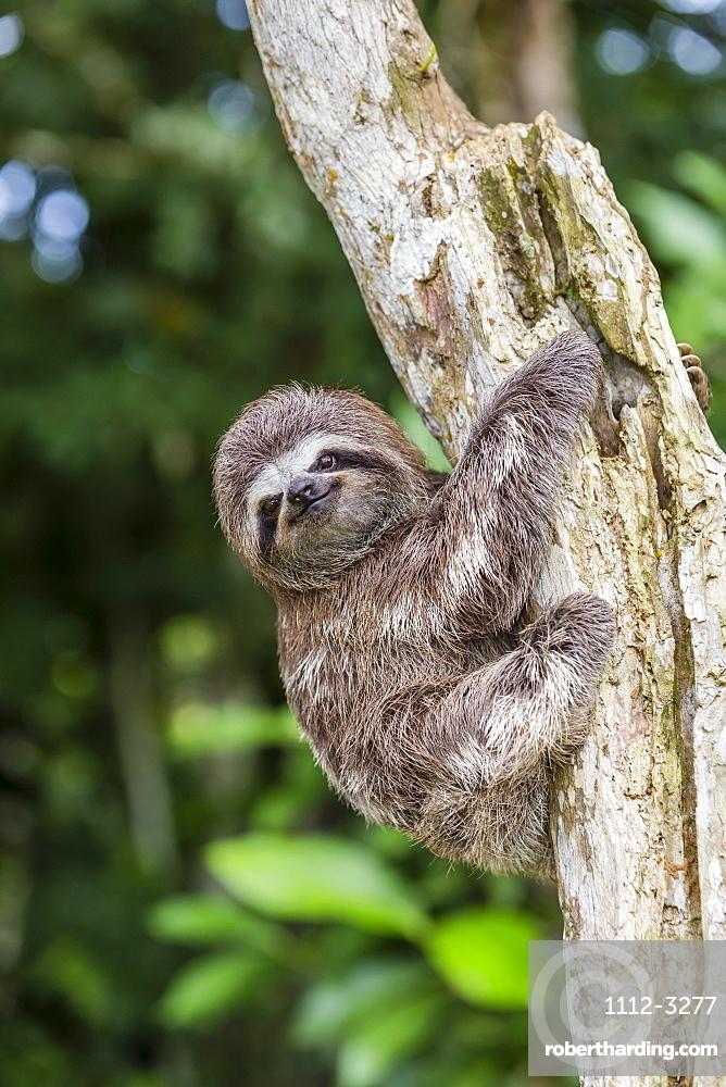A captive pet brown-throated sloth (Bradypus variegatus), San Francisco Village, Loreto, Peru, South America