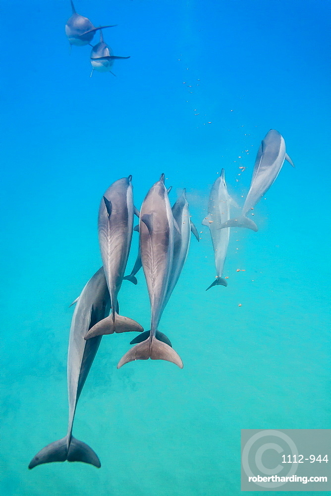 Hawaiian spinner dolphins (Stenella longirostris), AuAu Channel, Maui, Hawaii, United States of America, Pacific