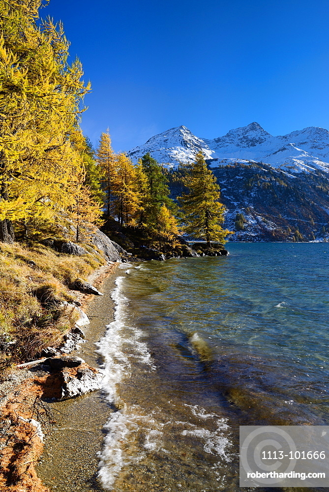 Golden larches along the shore of Lake Sils with Piz da la Margna (3159 m), Engadin, Grisons, Switzerland
