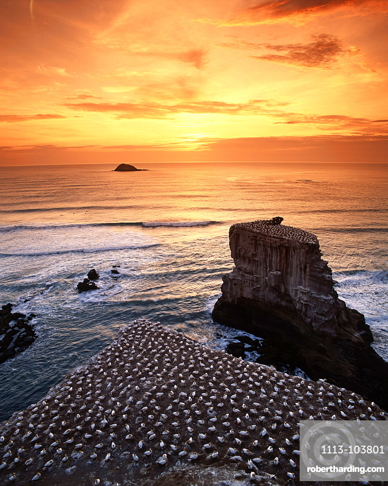 new zealand gannet colony at muriwai beach ,gannet fly from Muriwai to australia and come back