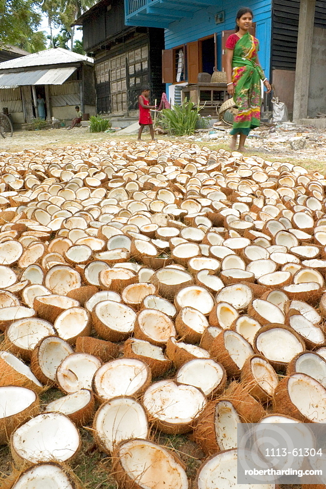 Coconuts drying in the sun, Havelock Island, Andaman Islands, India