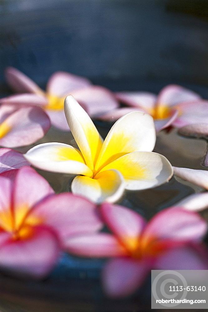Frangipani blossoms, frangipani, Mauritius