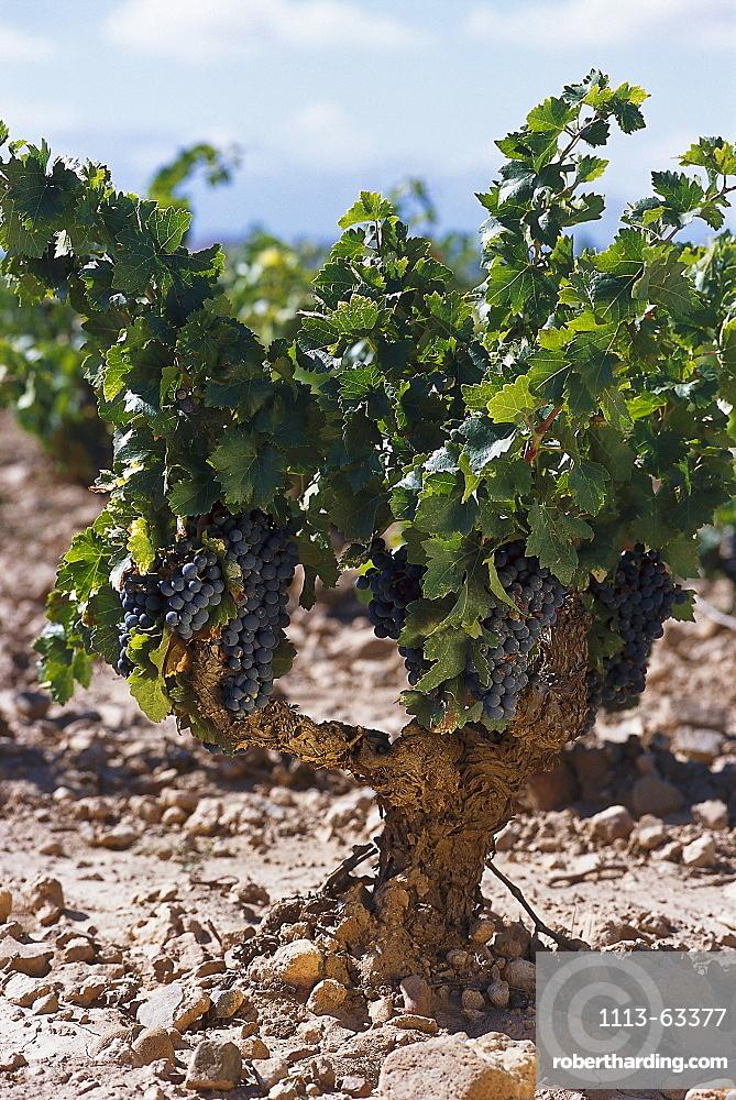 Old vineyard, Tempranillo Grapes, Navarra, Spain