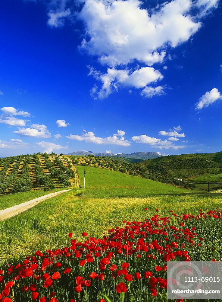 Poppy fields and olive trees, near Alhama de Granada, Province Granada, Andalusia, Spain
