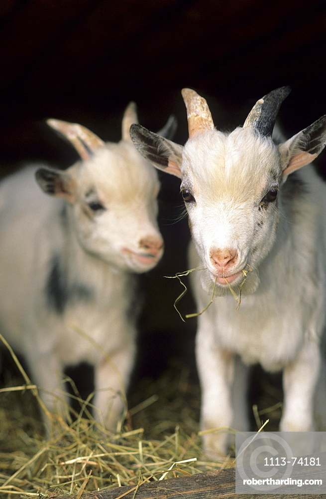 two young goats, Upper Bavaria, Bavaria, Germany