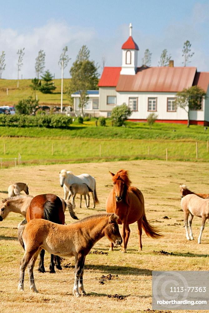 Iceland, Iceland ponies grazing, backgound farm