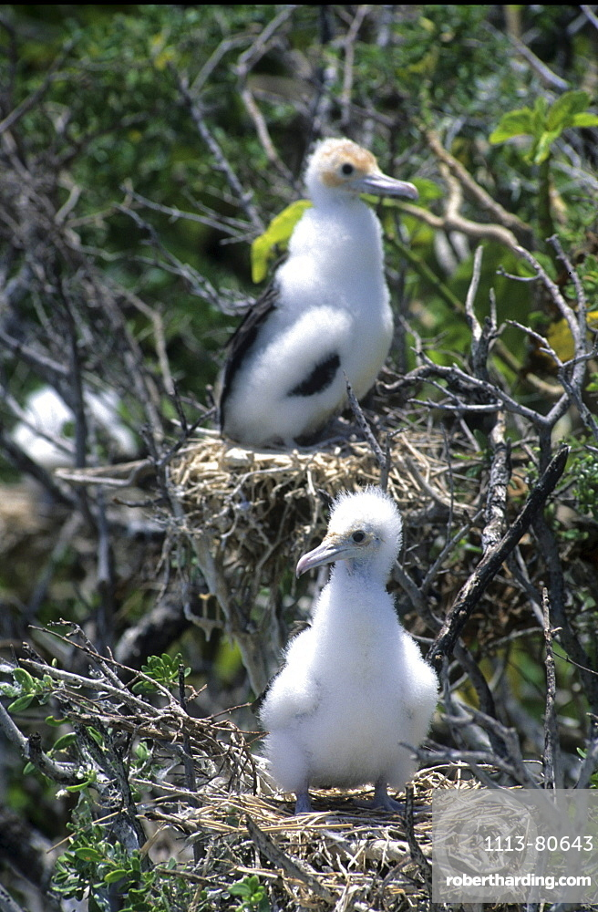 Island national Park North Keeling Island, booby chick, Australian