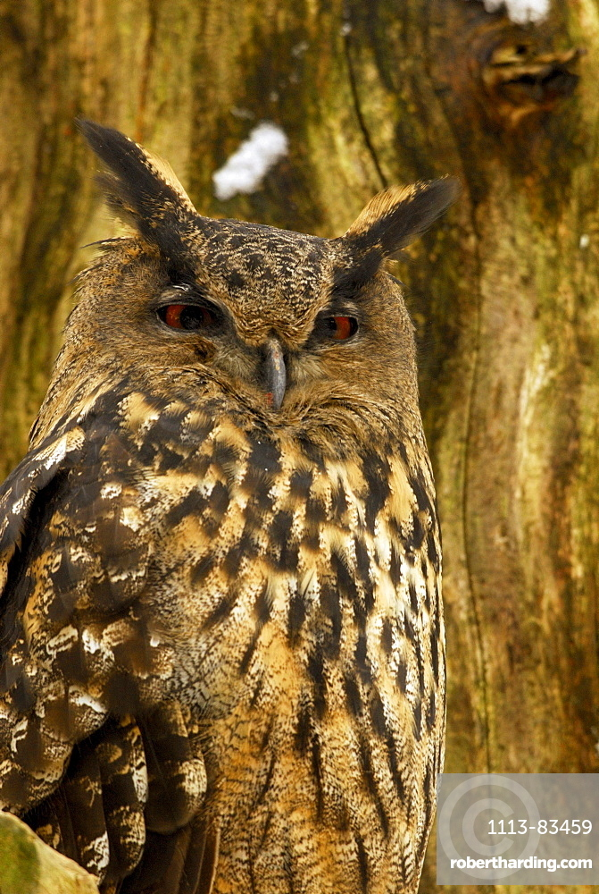 Eagle owl resting on branch, Bubo bubo, outdoor-enclosure, Bavarian Forest National Park, Lower Bavaria, Bavaria, Germany