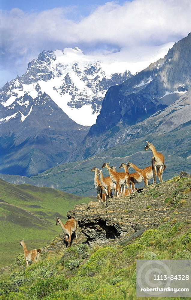 Guanacos, Lama guanicoe, Cuernos del Paine, Paine mountains, Torres del Paine Nationalpark, Patagonia, Chile