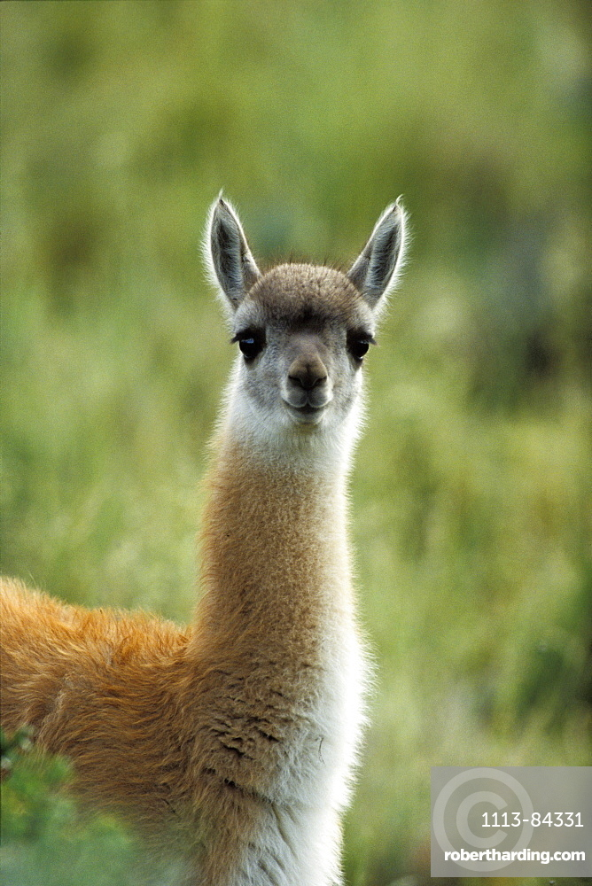 Guanaco, young, Lama guanicoe, Torres del Paine Nationalpark, Patagonia, Chile