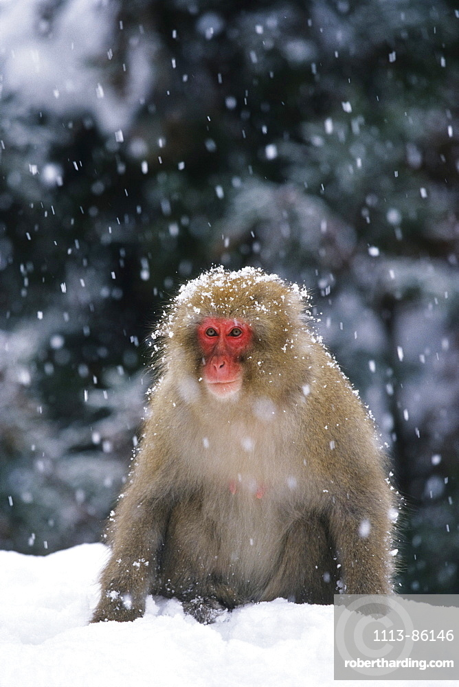 Snow Monkey, Japanese Macaque, Macaca fuscata, Japan
