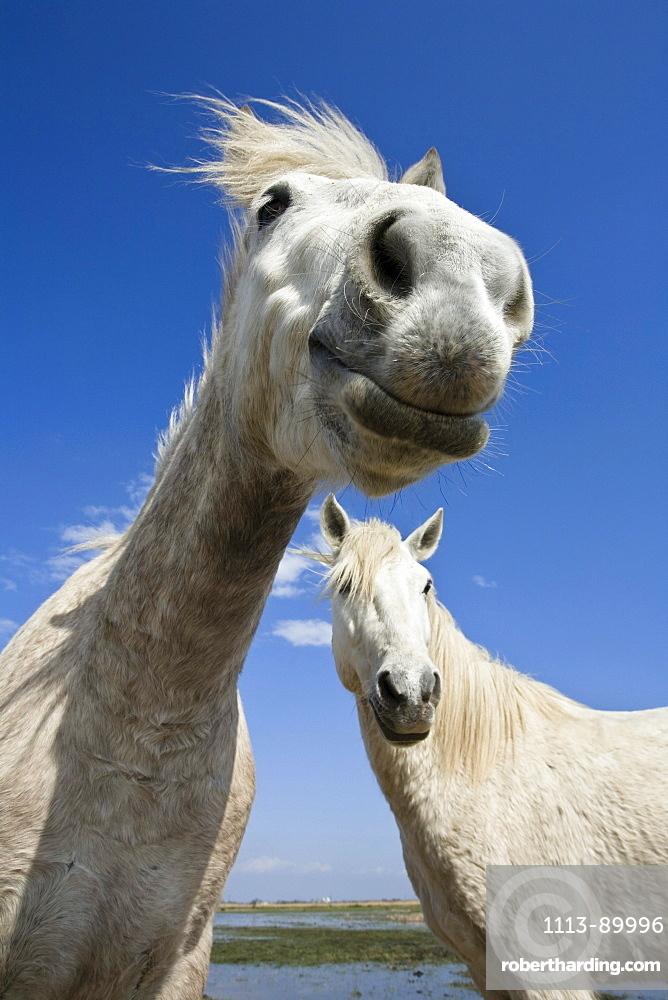 Camargue horses, Camargue, South France