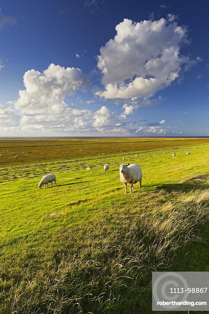 Sheep in a field near the dyke, Westerhever, Schleswig-Holstein, Germany