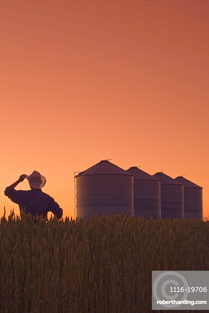 Farmer looks out over his spring wheat crop at dusk with grain storage bins in the background, near Carey, Manitoba