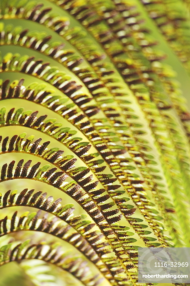 Hawaii, Big Island, close-up of Hapu'u fern.