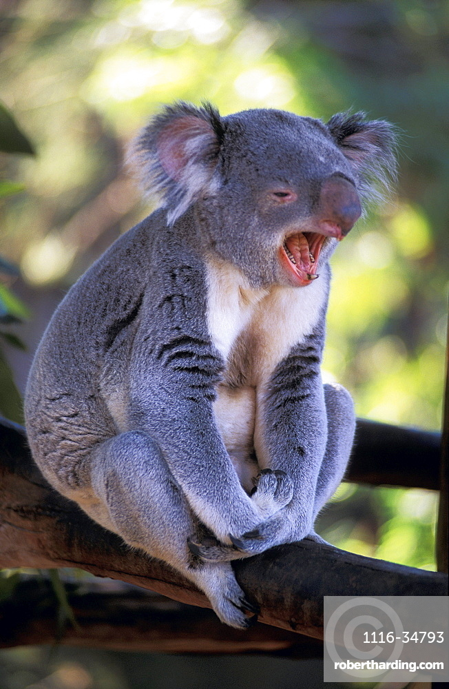 Australia, Full body of Koala (mouth open) in tree against blurry green.