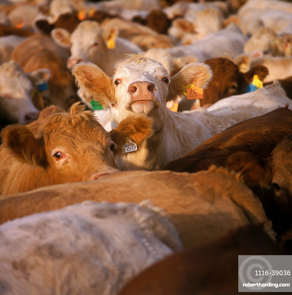 Livestock - Crossbred beef cattle bunched up at a beef feedlot / Ontario, Canada.