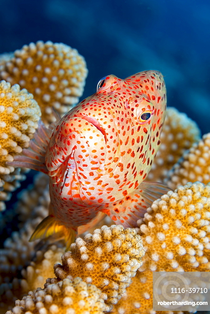 Typical of this family, the Blackside Hawkfish (Paracirrhites forsteri) has thick spines in it's pectoral fins to aid staying in place on it's coral perch, Hawaii, United States of America