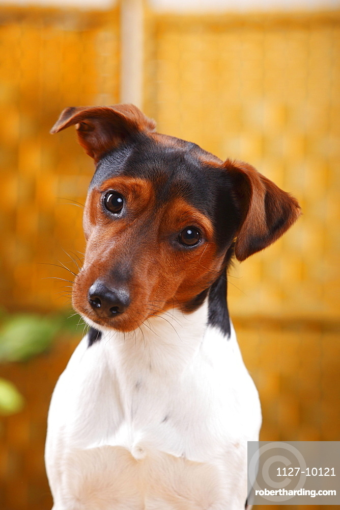 Jack Russell Terrier, male