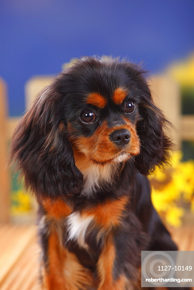 Cavalier King Charles Spaniel, black-and-tan, bitch, 6 months