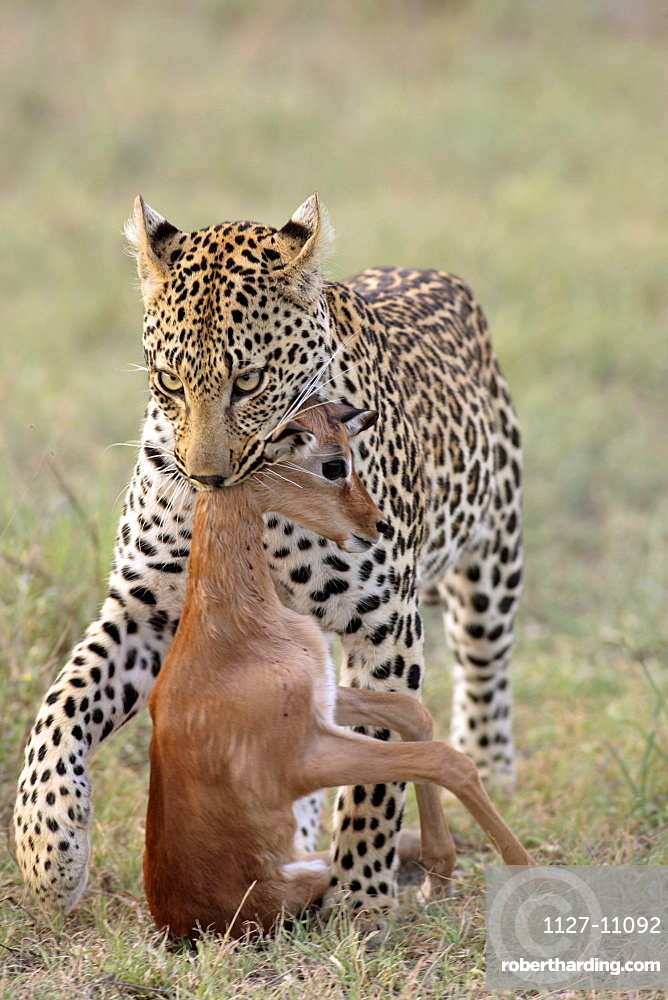 Leopard, female carrying prey, Sabie Sand Game Reserve, South_Africa / (Panthera pardus)