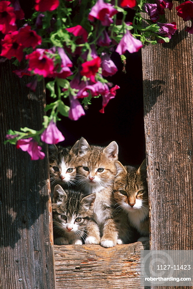 Domestic Cats, kittens looking out of barn door