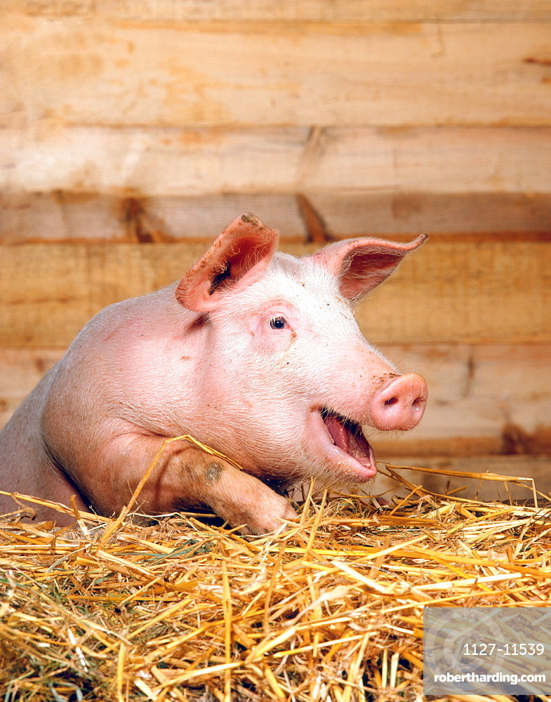 Domestic Pig in stable