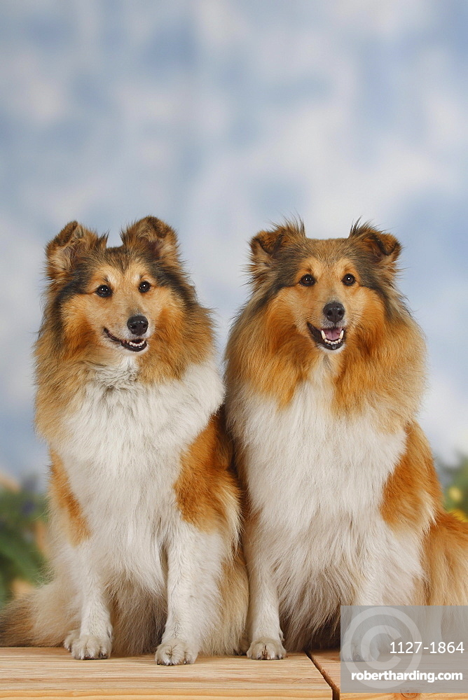 Shelties / Shetland Sheepdog
