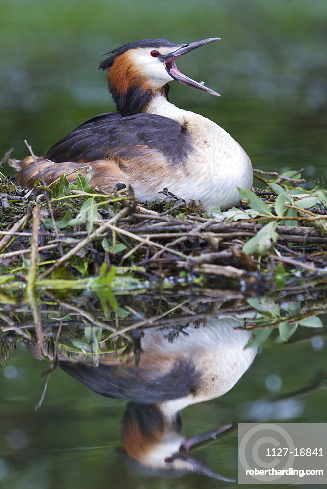 Great Crested Grebe / (Podiceps cristatus) / Germany