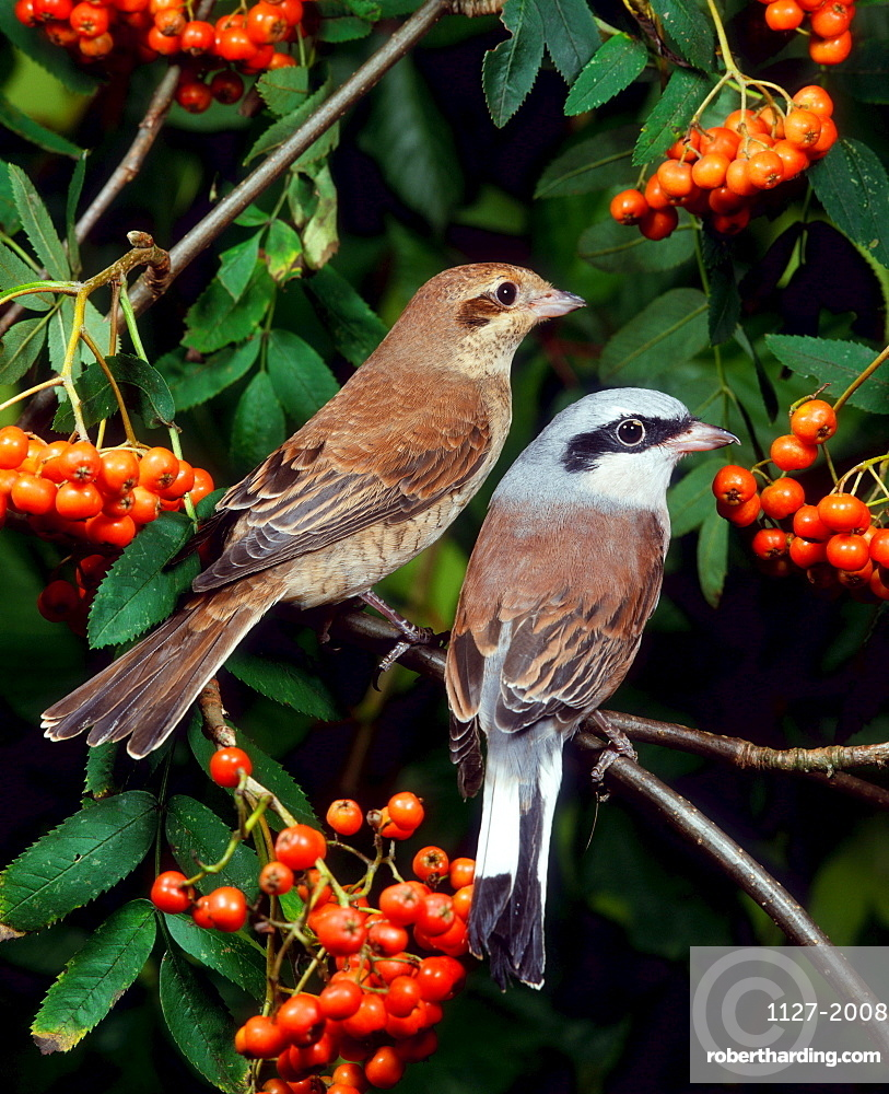 Red-backed Shrike, pair / (Lanius collurio)