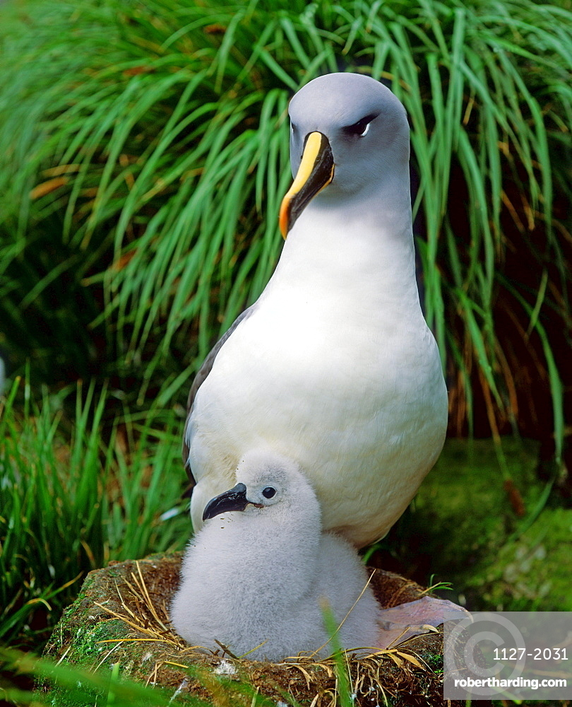 Gray-headed Albatross with chick at nest / (Diomedea chrysostoma)