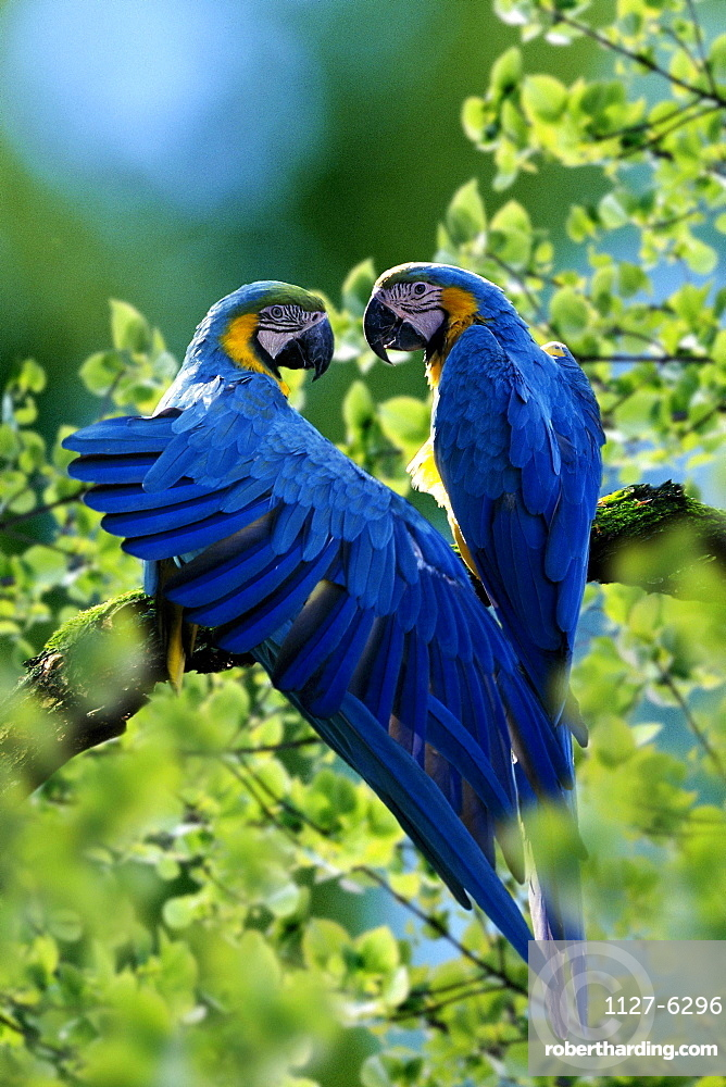 Blue-and-yellow Macaw, pair, one stretching its wing / (Ara ararauna) / Blue-and-gold Macaw