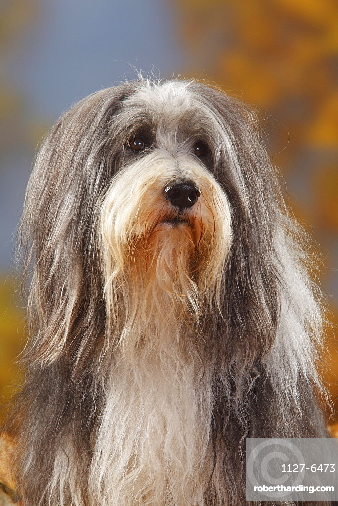 Bearded Collie, 12 years old
