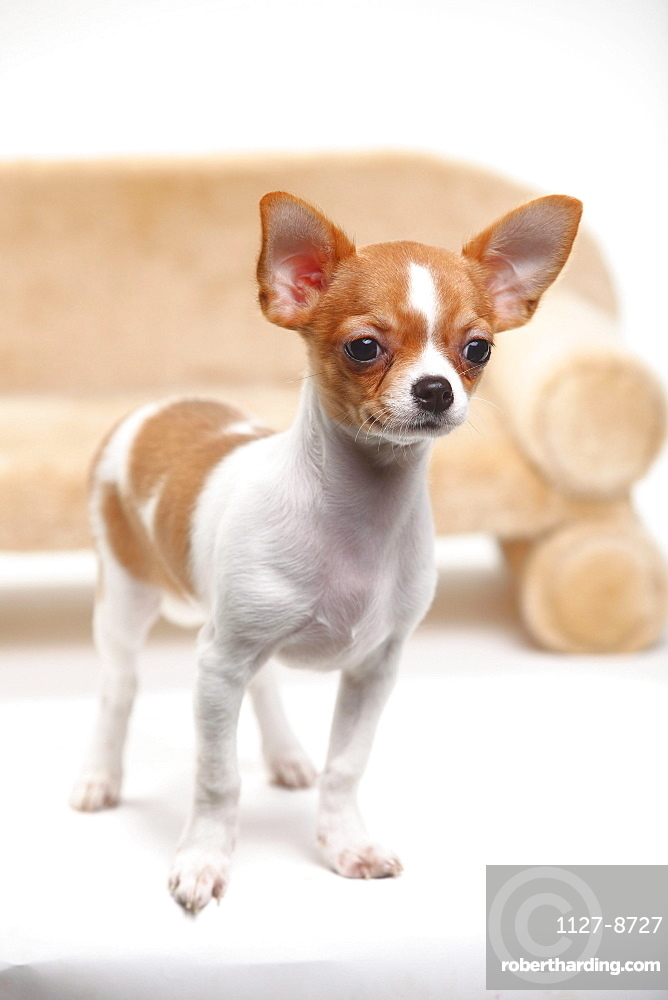 Chihuahua, puppy, smooth haired, 3 1/2 months
