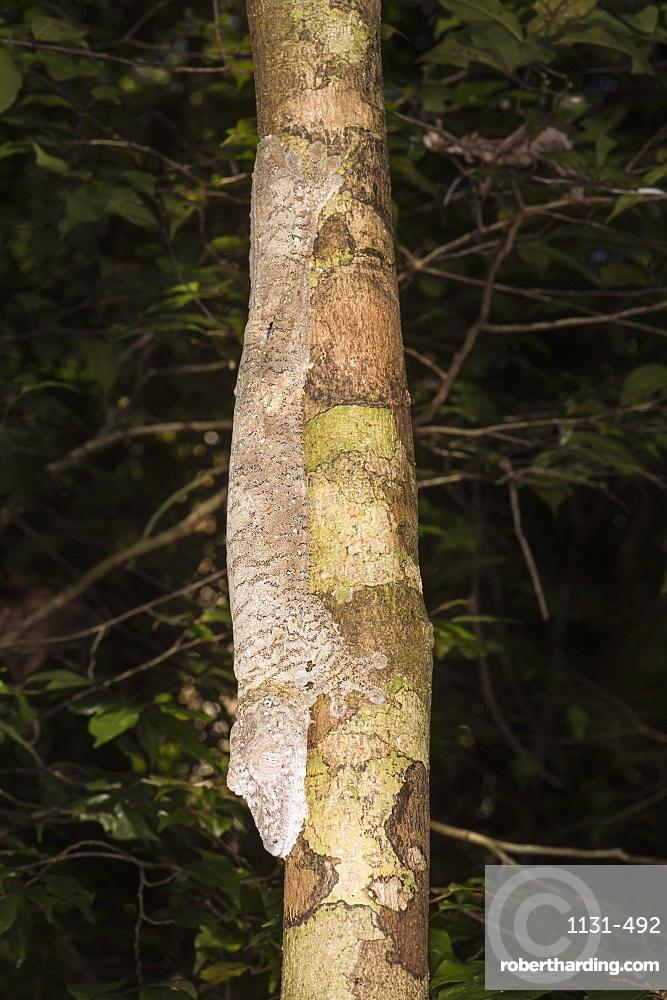 Leaf-tailed Gecko (Uroplatus fimbriatus), Nosy Mangabe, Maroantsera, Madagascar, Africa