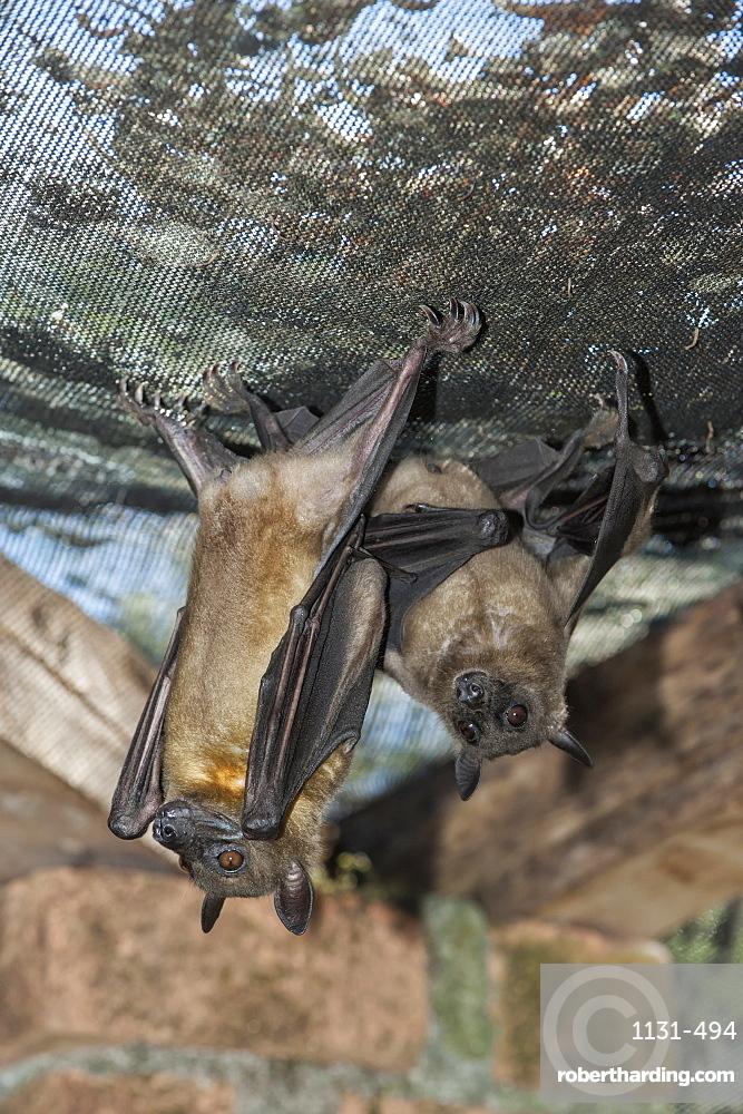 Madagascar Flying Fox (Madagascar Fruit Bat) (Pteropus rufus) hanging in a barn, Madagascar, Africa