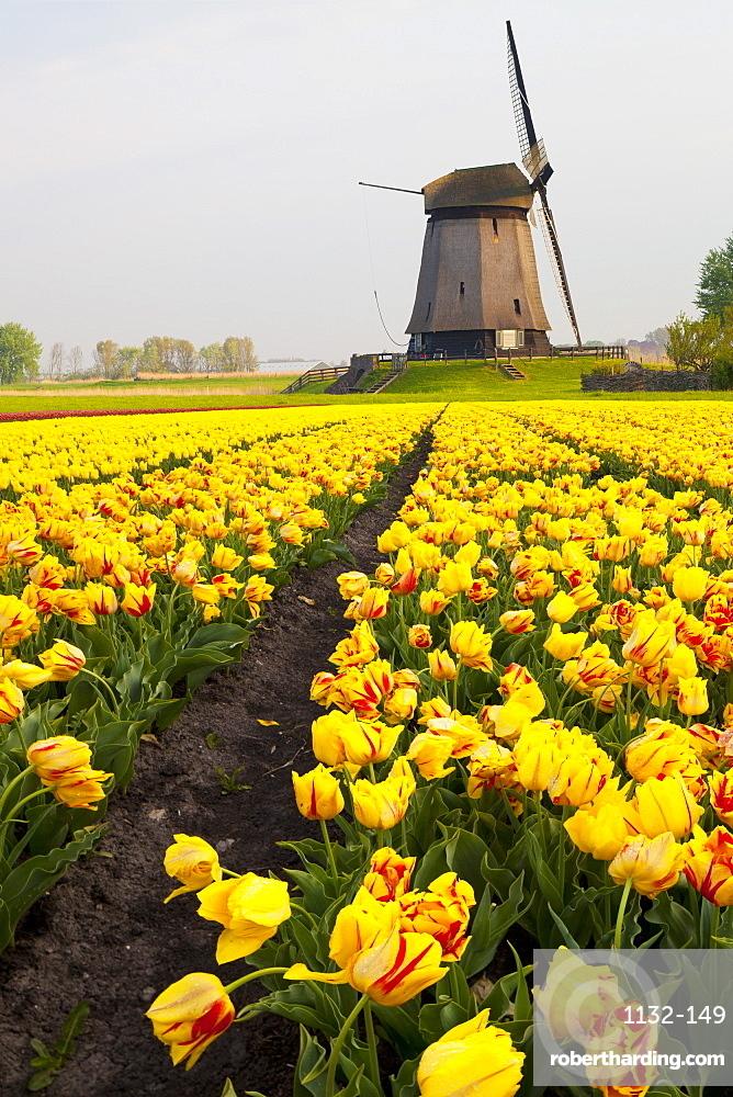 Windmill and tulip field near Schermerhorn, North Holland, Netherlands, Europe