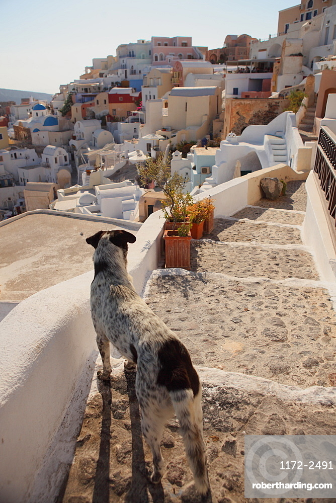 Dog, Santorini, Greece