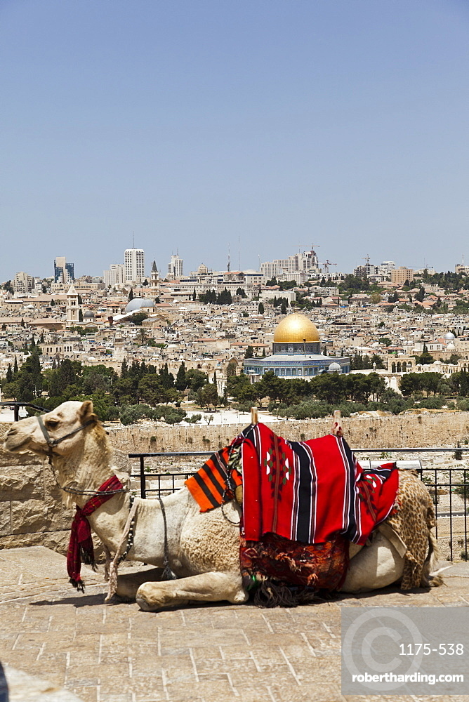 View of camel and Dome of the Rock in Temple Mount from Mount of Olives, Jerusalem, Israel