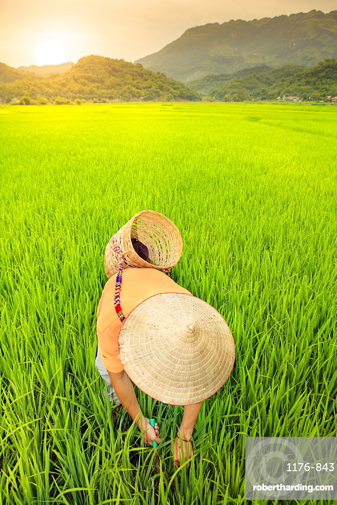 Farmer wearing a conical hat in rice fields, Mai Chau, Hoa Binh, Vietnam, Indochina, Southeast Asia, Asia