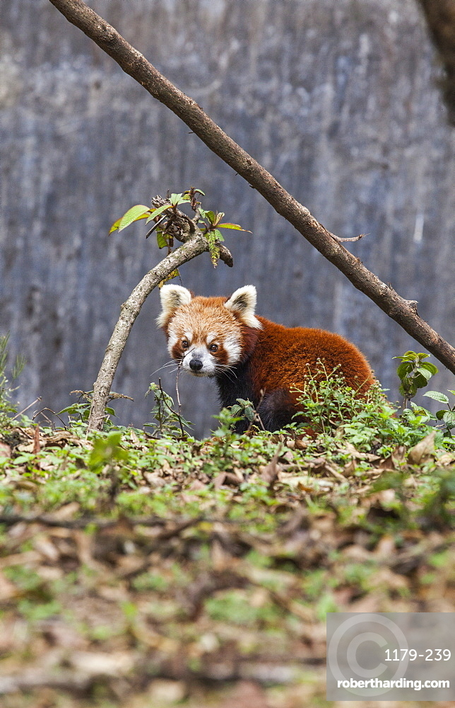 A lesser panda (red panda) in a wildlife reserve in India where tourists can observe this endangered animal, Darjeeling, India, Asia