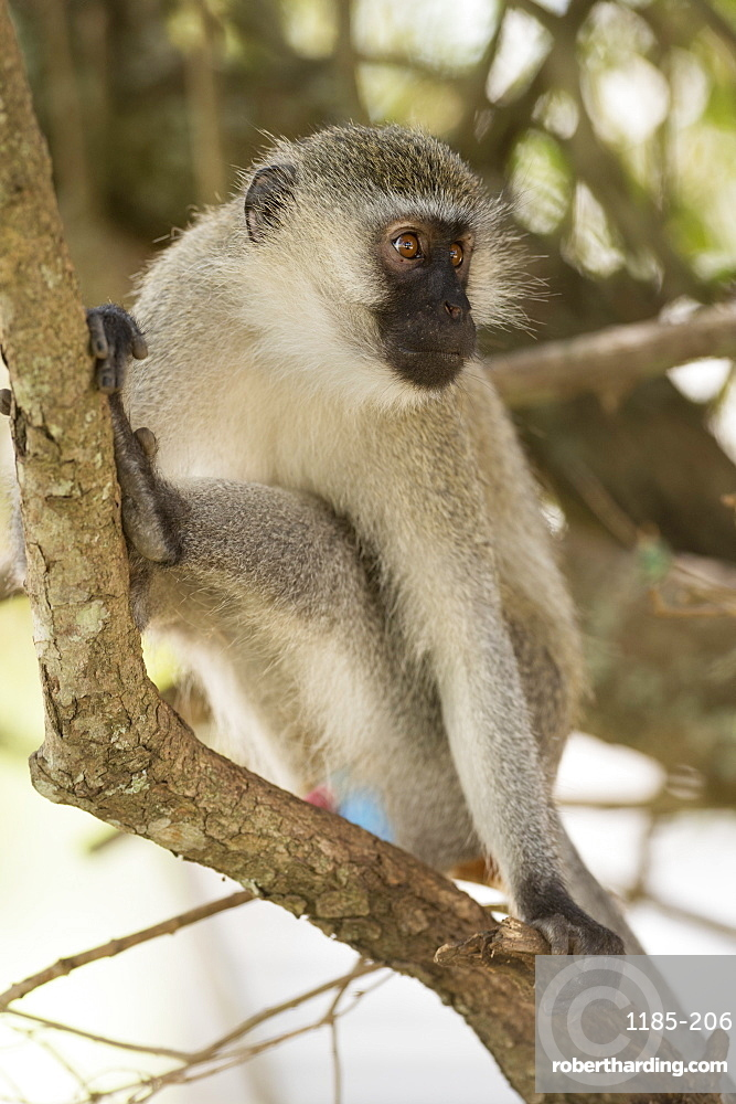 Vervet monkey, Lake Mburu National Park, Uganda, Africa